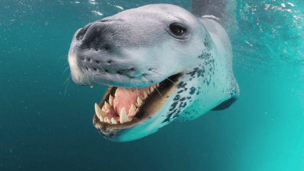 leopard des mers (Paul Nicklen)