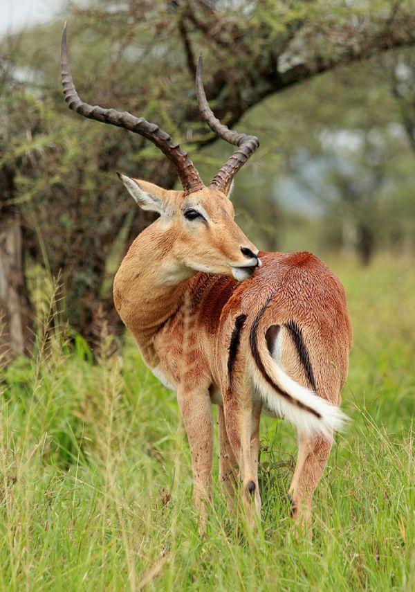 Impala at the #Serengeti National Park
