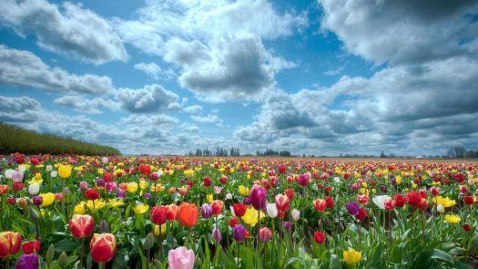 Tulipanes (405 pieces)
