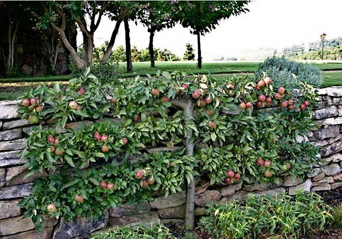 Espalier Trees- One basic form, the double horizontal cordon, can be shaped in essentially two years. This form is best for pears and apples.