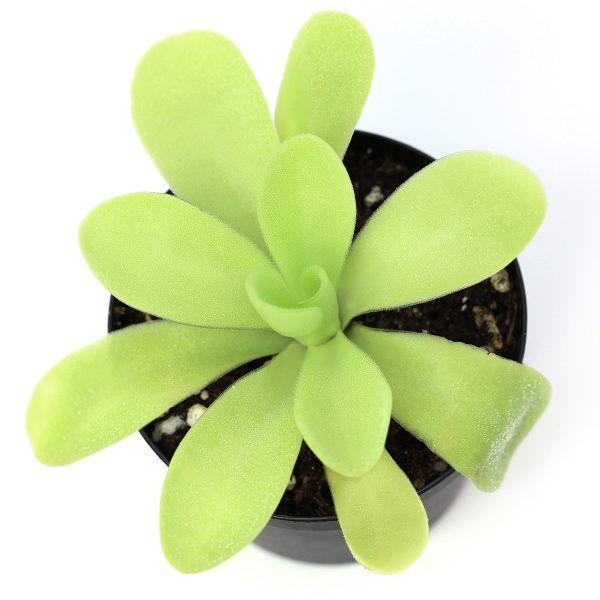Shop Pinguicula agnata 'True Blue' butterworts at curiousplant.com