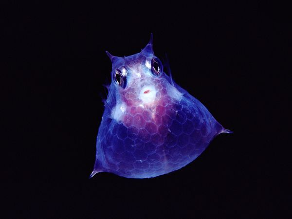 Juvenile Cowfish   (National Geographics Photography)