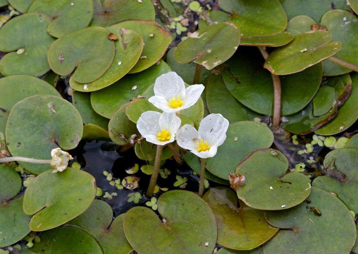 Водокрас лягушачий или Водокрас обыкновенный (Hydrocharis morsus-ranae)