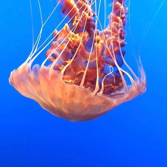 Sea Nettle - Ortiga de mar jellyfish @montereybayaquarium. Those long tentacles carry a deadly surprise #jellyfish #tentacles #thriveat35 #daretothrive #aquarium #seacreatures #ocean #deadlydames #montereybayaquarium #montereybay #monterey #montereylocals - posted by Neloo Naderi https://www.instagram.com/thrive_at_35. See more of Monterey Bay at http://montereylocals.com