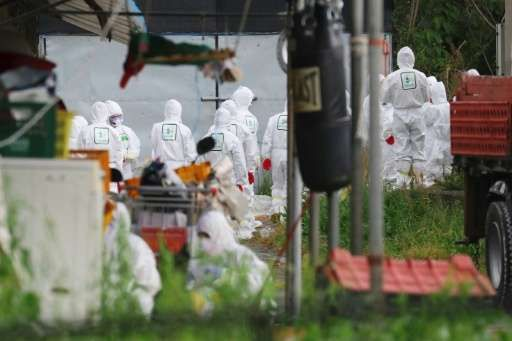 South Korean health officials prepare to bury chickens at a farm in Jeju after the bird flu virus hit