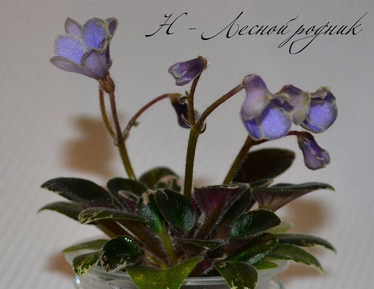 Н-Лесной Родник (Н.Бердникова)  Простые синие колокольчики с белым кантом, пестрая темно-зеленая, заостренная листва. Миниатюра.