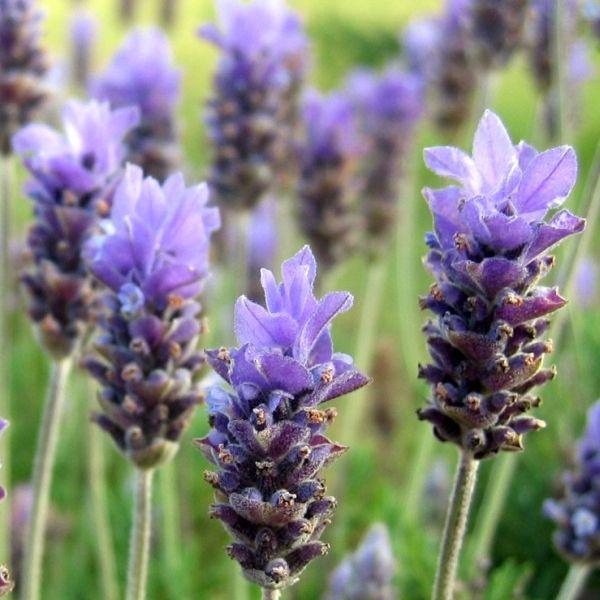jadalny kwiat lawenda