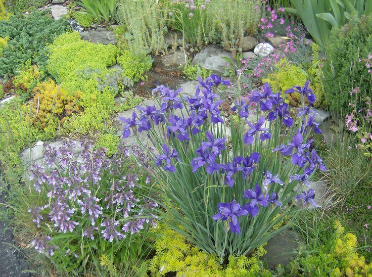 Fresh colors of June: sedum acre, sedum Angelina, dianthus Firewitch, penstemon Hirsutus and a very blue volunteer seedling of  iris Sibirica.