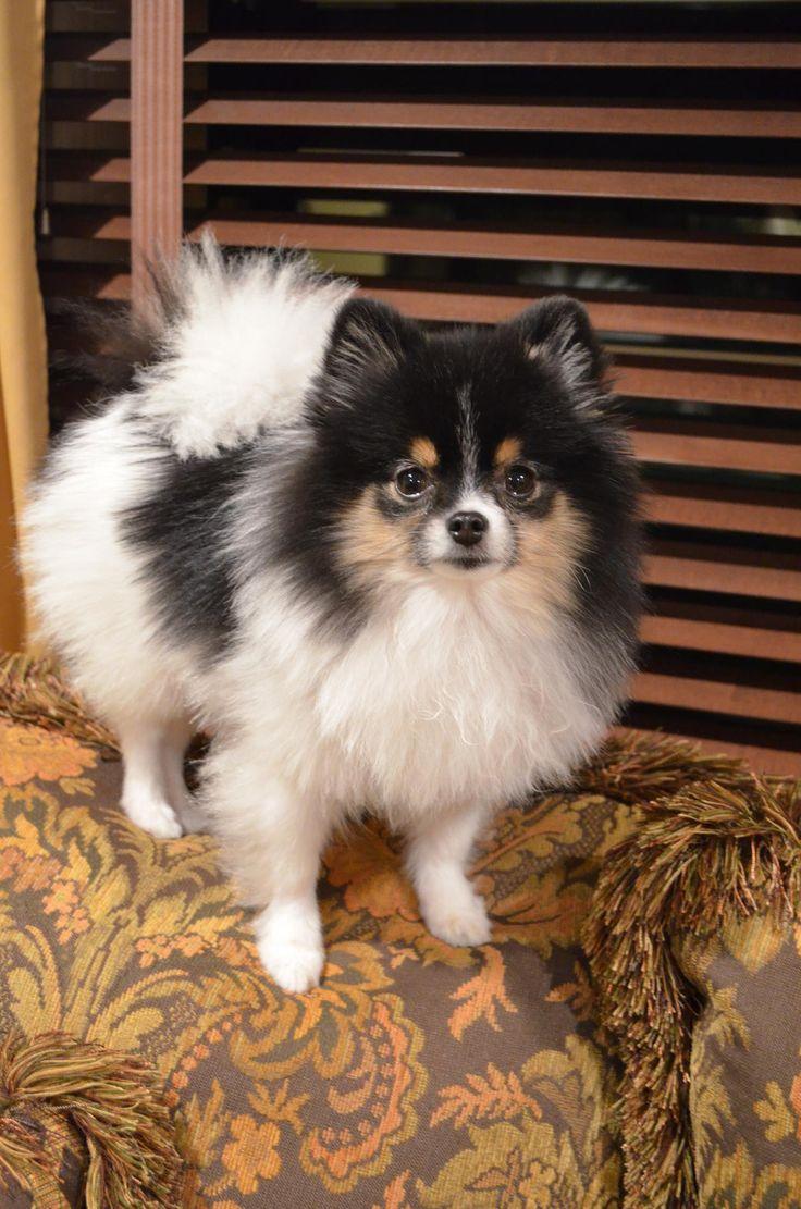 Tri-parti Pomeranian - my beautiful baby :) #pomeranian