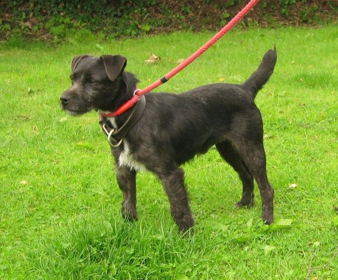 This 2-3 year old male Patterdale Terrier  looks a lot like Annie