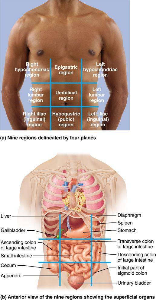 1.6 Many internal organs lie in membrane-lined body cavities: Human Anatomy and Physiology