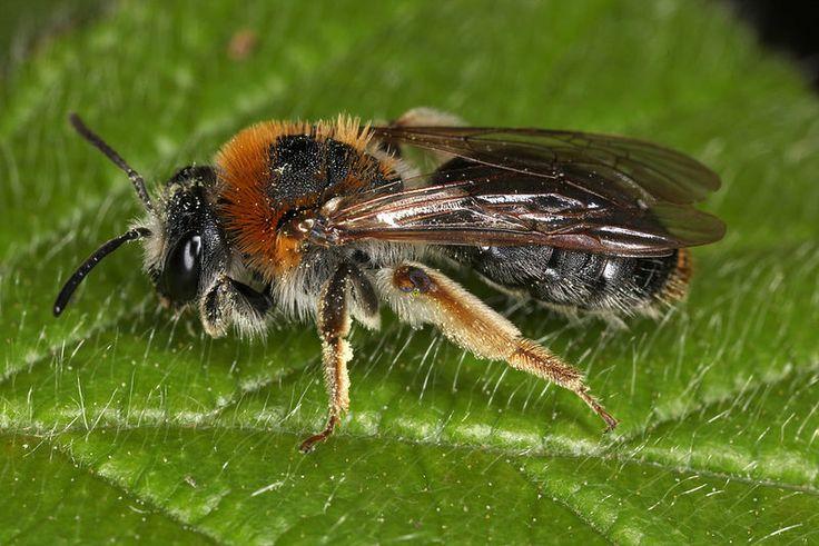 Andrena haemorrhoa  Tawny Mining Bee