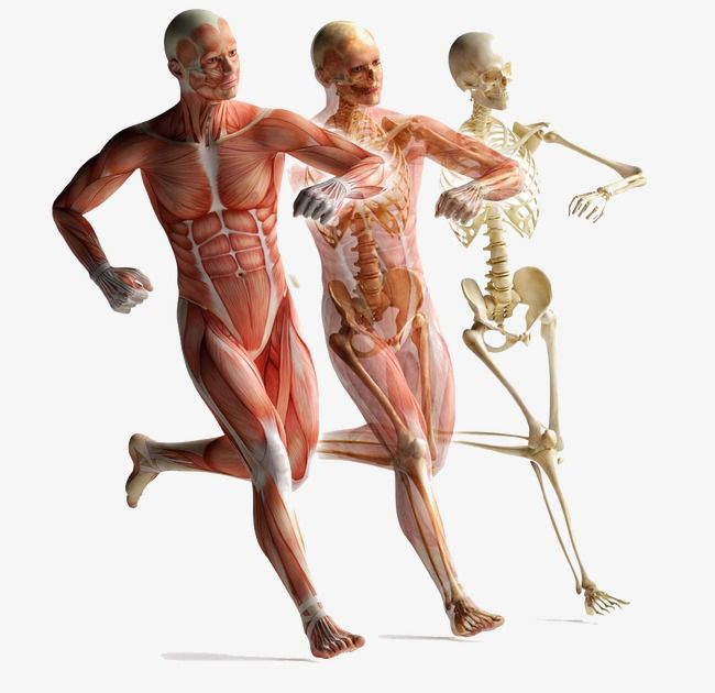 Human Body Human Clipart Skeleton Png Transparent Clipart Image And Psd File For Free Download Di 2021 Tubuh Manusia Png Gambar Manusia
