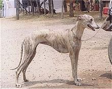 A Rampur greyhound.  These heavy sight hounds were used by the maharaha's to hunt jackals in India.