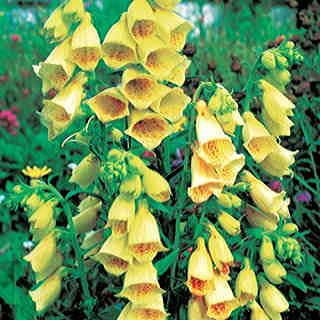A rare yellow perennial Foxglove, blooming in early and midsummer.