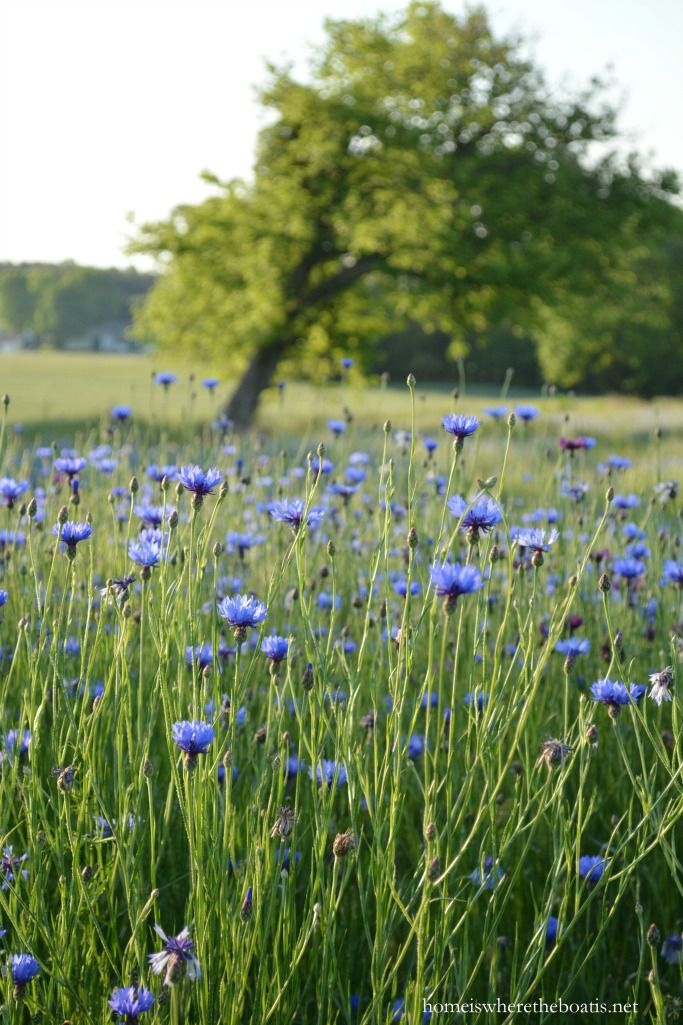 Singing the Wildflower Blues: Bachelor Buttons or Cornflowers