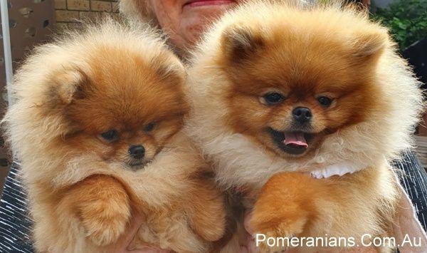 Dochlaggie Pomeranian Puppies Melbourne Pomeranianpuppy Pomeranianmeme Pomeranian Pomeraniandog Pomeranianpuppi Puppies Pomeranian Breed