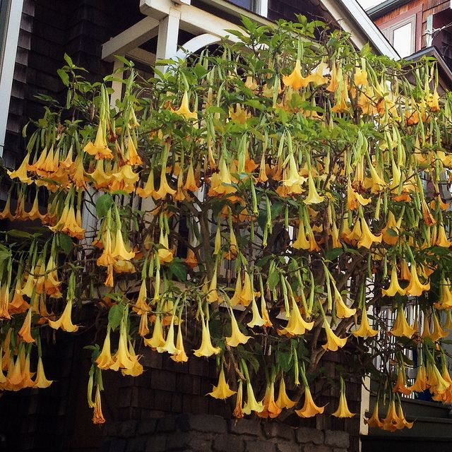 """Brugmansia, a fragrant plant  commonly known as """"angel's trumpet,"""" flourishing wonderously in Bernal Heights, a San Francisco neighborhood."""