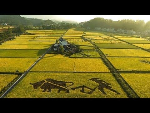 Wheat Prices Rise, GM Fish, New Type of Rice