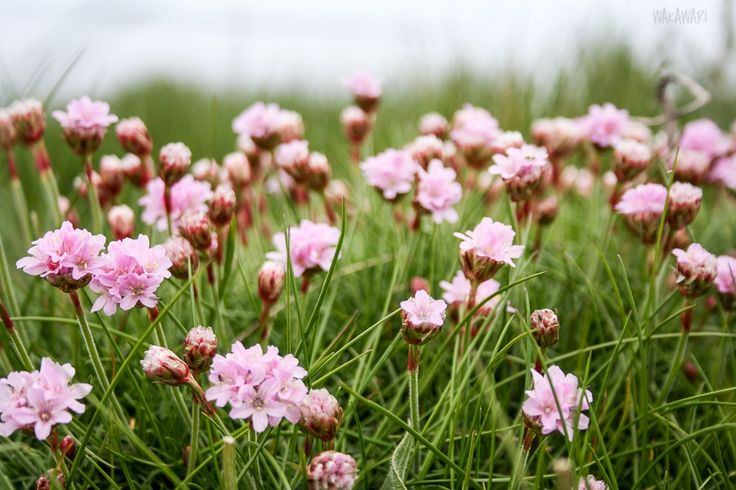 flower hayfield  https://www.facebook.com/wakawariBlog/posts/443813962446169