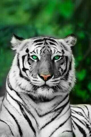gorgeous green eyed white tiger... | white tigers ...