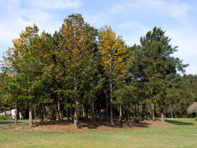 Silky Oak Grevillea robusta