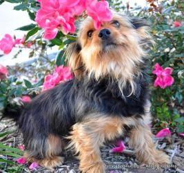 Sherlock Bones: Yorkshire Terrier Yorkie, Dog; Houston, TX