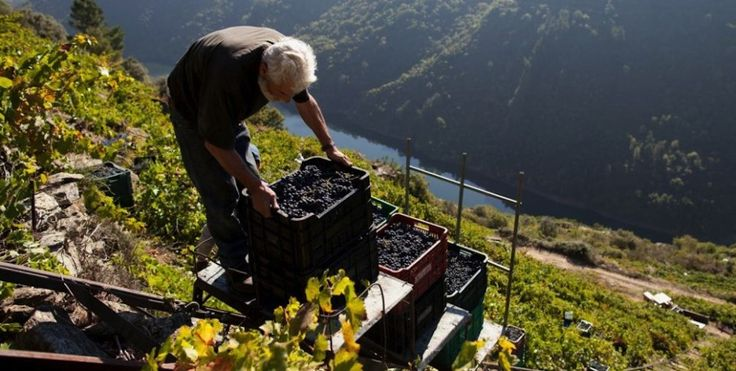 Grape picking on dizzying slopes, all in the name of a good bottle of wine