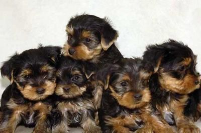 yorkshire terrier puppies!!: Yorkie Baby, Art Yorkshire, Terriers Animal, Yorkshire Terriers Puppies, Dogs Breeds, Yorkshire Terrier Puppies, Terriers Baby, Adorable Baby, Baby Boy