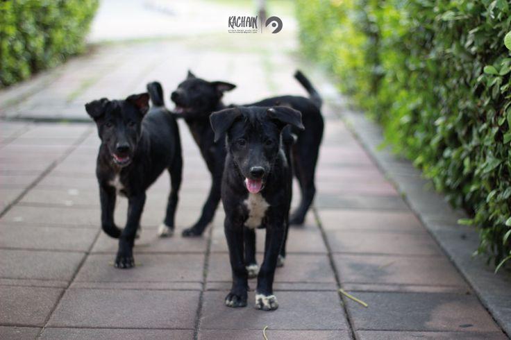 Siam Street Dogs