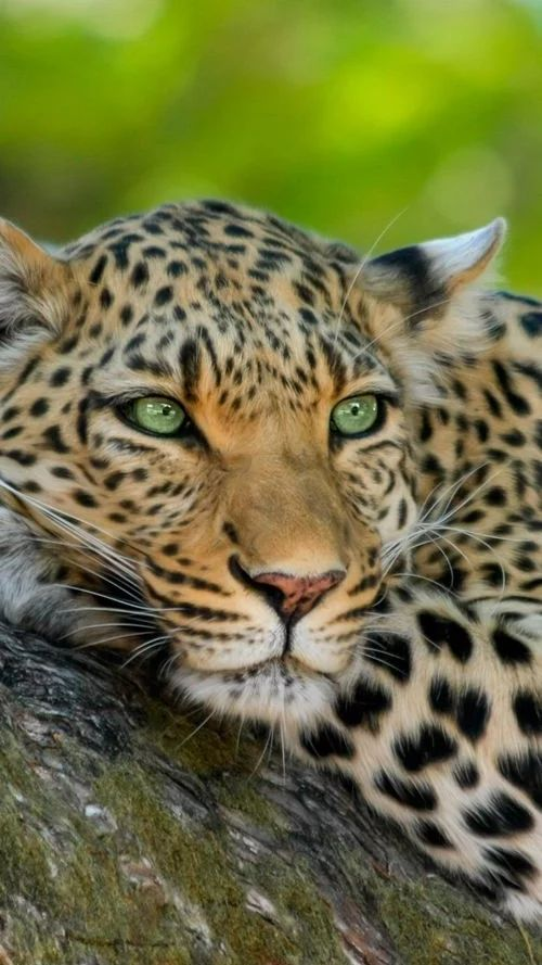The leopard has greatness and power. The great watcher and courage.
