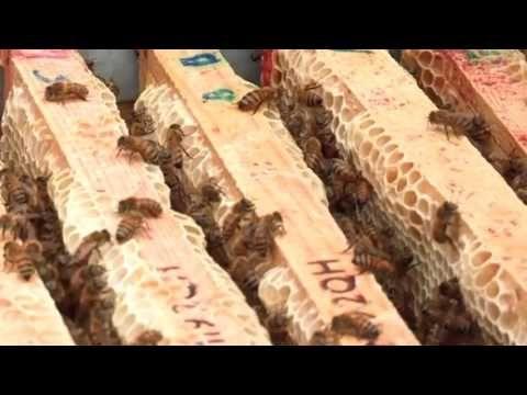 Asian giant hornet target bees