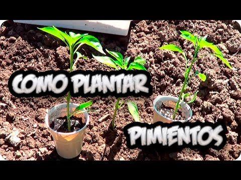 Como Plantar Pimientos O Chiles En El Huerto Paso a Paso || La Huertina ...