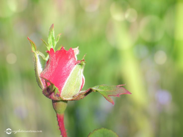 Rework 52-37 Red Rose