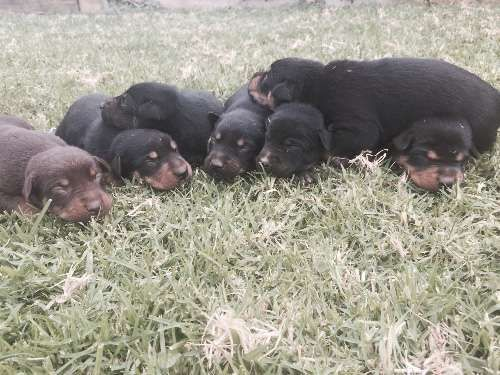 Purebred kelpie puppies, currently 2 weeks old, ready to go in 6 weeks time.black and tan pups with one male red & tan in colour. Four males & three females available. Pups will come with first vaccination, micro chipped and worming up to date. Both parents are working dogs with great temperaments. Puppies are very outgoing and friendly, will make great family pets or working dogs - https://www.pups4sale.com.au/dog-breed/450/Kelpie-(Australian).html