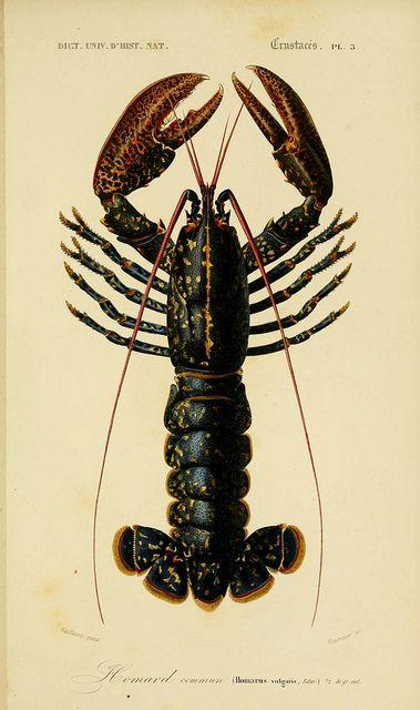 Lobster from Dictionnaire universel d'histoire naturelle. v. 3 1849 - Atlas (Zoologie-Botanique) Paris :Chez les editeurs MM. Renard, Martinet et cie, rue et Hotel Mignon, 2 (quartier de l'École-de-Médecine) ; et chez Langlois et Leclercq, rue de la Harpe, 81 ; Victor Masson, Place de l'Ecole-de-Médecin1847-1849
