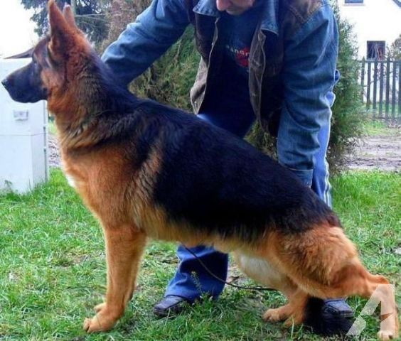 83 Best Images About Gsd Bad Breeding On Pinterest