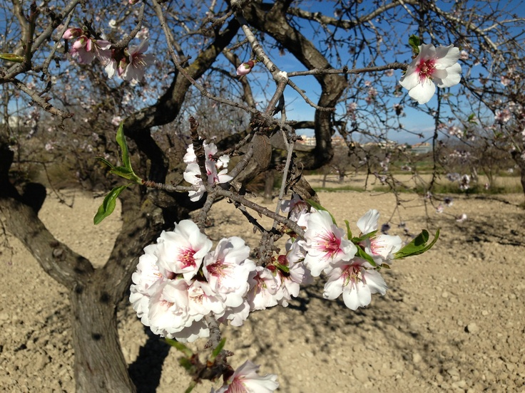 Mandeltræer i blomst