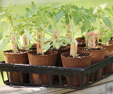 10 tips to growing a better #tomato. Get them here: http://www.bhg.com/gardening/vegetable/vegetables/start-growing-tomatoes/Gardens Ideas, Green Thumb, Perfect Start, Strong Start, Growing Tomatoes, Pallets Garden, Tomatoes Plants, Gardening Vegetables, Biodegradable Pots