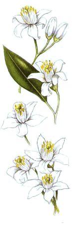 Receitas com Flores de Laranjeira ( Ricette coi fiori: Anatra ai fiori d'arancio.)