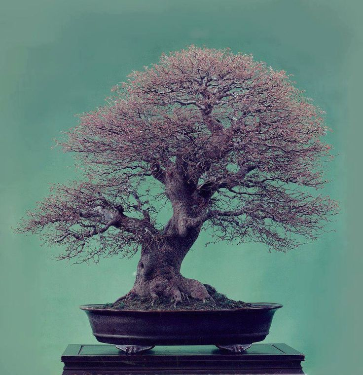 Bonsai (Great Ramification) - Unknown sp.