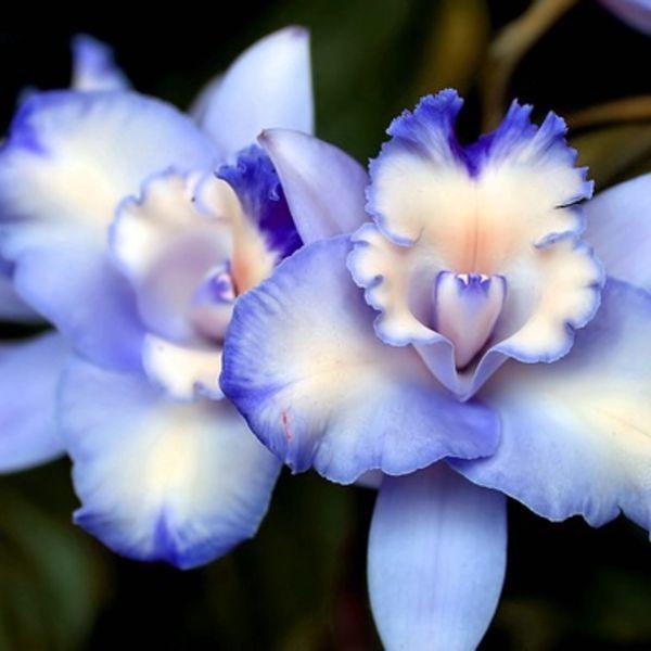 Rare blue orchids