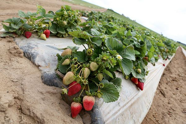 california farms | California Strawberries Farm and Culinary Tour ~ Savory Simple