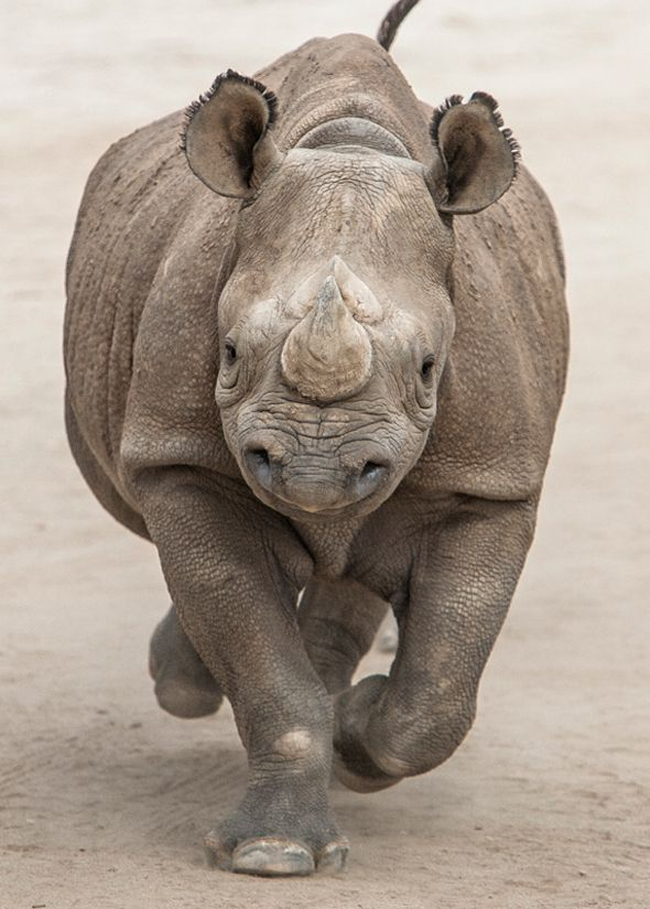 Black rhinos can reach speeds of up to 40 miles per hour (64 kilometers per hour).