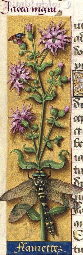 """Flamettes - Jacea nigra (Lychnis flos-cuculi L. = Lychnis à fleurs de coucou -- """"flamette"""" est le diminutif de """"flamme"""" conservé dans """"oriflamme"""" :  les pétales de la fleur ont été comparés à de petits étendards roses) -- Grandes Heures d'Anne de Bretagne, BNF, Ms Latin 9474, 1503-1508, f°32v"""