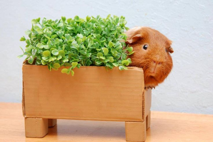 17 Best Images About Guinea Pig Products On Pinterest