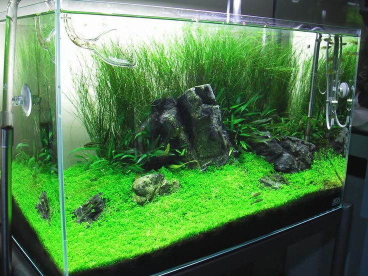 I know your pain growing hemianthus callitrichoides hc for Toddler fish tank