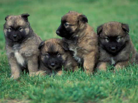 Belgian Malinois Puppies For Sale | Domestic Dogs, Belgian Malinois / Shepherd Dog Puppies Sitting / Lying ...