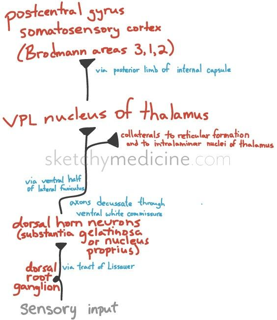 Lateral Spinothalamic Pathway | Sketchy Medicine