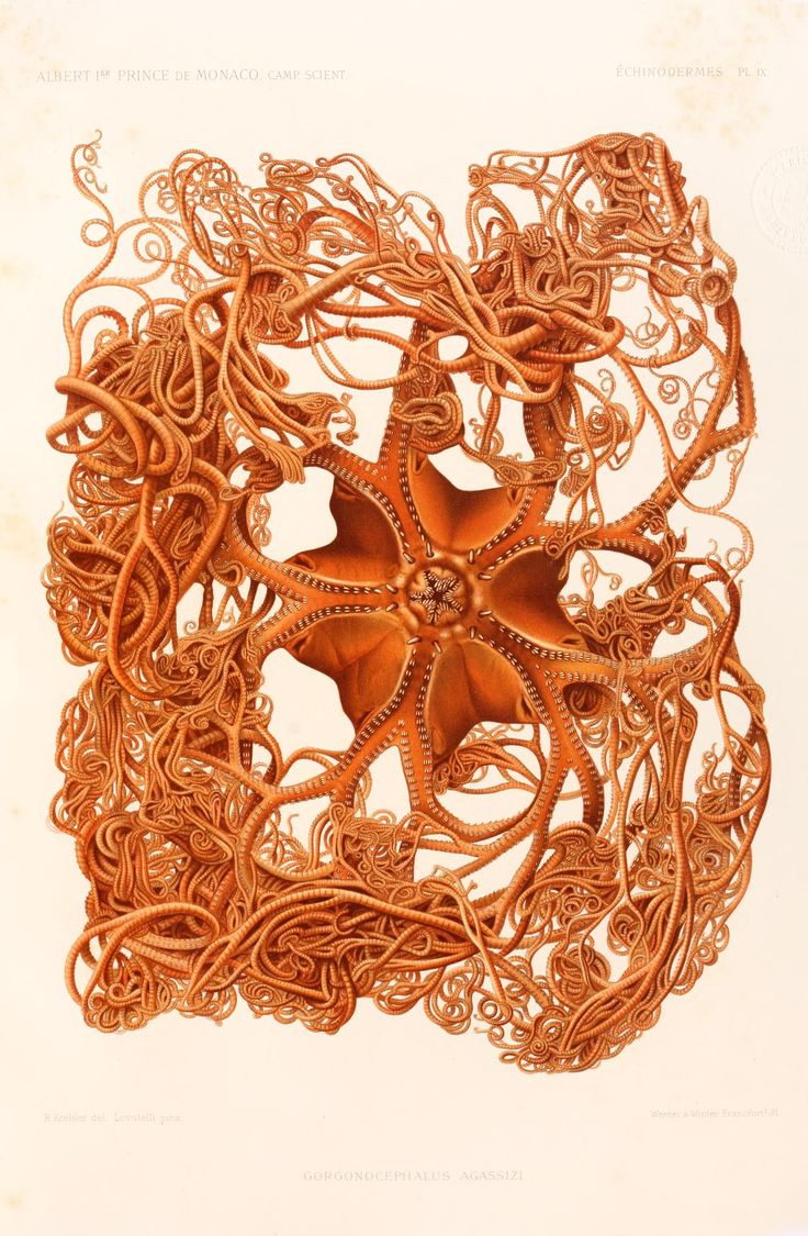 f.34 (Échinodermes) - Résultats des campagnes scientifiques accomplies sur son yacht - An amazing starfish named after the naturalist Agassiz, Gorgonocrphalus agassizi, common name, Basket Starfish